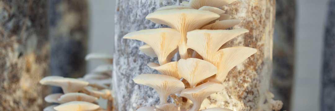 Les champignons PermaFungi